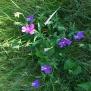 Viola bulbanii PENSAMENT DEL MONTSENY