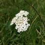 Achillea millefolium MILFULLES 2