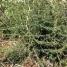 Asparagus albus, ESPÀRREC