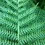 Athyrium filix-femina FALGUERA FAMELLA 2