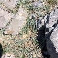 Cerastium tomentosum, CERASTI TOMENTÓS