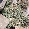 Cerastium tomentosum, CERASTI TOMENTÓS2
