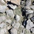 Cerastium tomentosum, CERASTI TOMENTÓS3