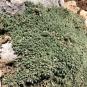 Cerastium tomentosum, CERASTI TOMENTÓS4