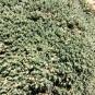Cerastium tomentosum, CERASTI TOMENTÓS5