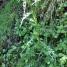 Cirsium palustre CARD 1