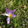 Crocus sativus, SAFRÀ BORD