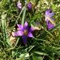 Crocus sativus, SAFRÀ BORD2