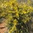 Cytisus sp, ARGELAGA