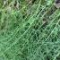 Equisetum arvense ASPRETA 1