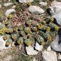 Euphorbia rigida, LLETERESA