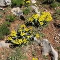 Euphorbia rigida, LLETERESA4