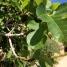Ficus carica, FIGUERA