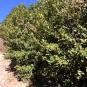 Ilex aquifolium, BOIX GRÈVOL