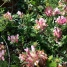 Pistacia lentiscus, LLENTISCLE 2
