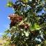 Pistacia lentiscus, LLENTISCLE 3