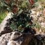Pistacia lentiscus, LLENTISCLE