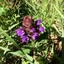 Prunella grandiflora PRUNELA 2