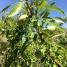 Prunus dulcis, AMETLLER