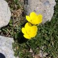 Ranunculus acris, BOTÓ D'OR