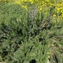 Rosmarinus officinalis, ROMANÍ