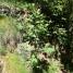 Sorbus aucuparia MOIXERA DE GUILLA 1