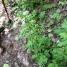 Valeriana officinalis VALERIANA 1