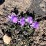 Viola aethnensis, VIOLA DELL'ETNA1