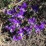 Viola aethnensis, VIOLA DELL'ETNA2