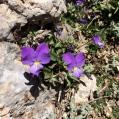 Viola nebrodensis, VIOLA DEI NEBRODI