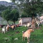 03 Cabres a la seva segona residència