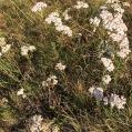 Achillea millefolium MILFULLES1