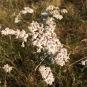 Achillea millefolium MILFULLES2