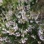 Calluna vulgaris BRUGUEROLA 1
