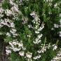 Calluna vulgaris BRUGUEROLA 2