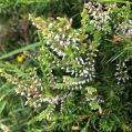 Calluna vulgaris BRUGUEROLA