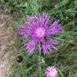 Centaurea jacea CAPS BLAUS 2