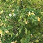 Colutea arborescens ESPANTALLOPS1