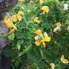 Colutea arborescens ESPANTALLOPS2