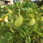 Colutea arborescens ESPANTALLOPS5
