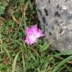 Dianthus hyssopifolius CLAVELL DE PASTOR
