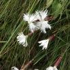 Dianthus sp CLAVELL BLANC1