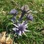 Eryngium bourgatii PANICAL BLAU