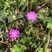 Geranium pyrenaicum GERANI PIRINENC