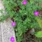 Geranium sanguineum GERANI SANGUINI 1
