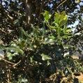 Ilex aquifolium BOIX GRÈVOL 1