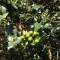 Ilex aquifolium BOIX GRÈVOL 2