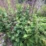 Lactuca alpina 1