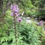 Lactuca alpina 3