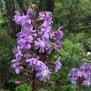 Lactuca alpina 4